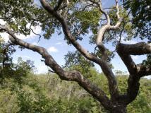 El árbol de guayacán posee propiedades contra el cáncer de mama