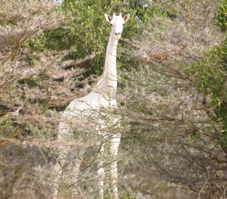 jirafa blanca (semisquare-x3)