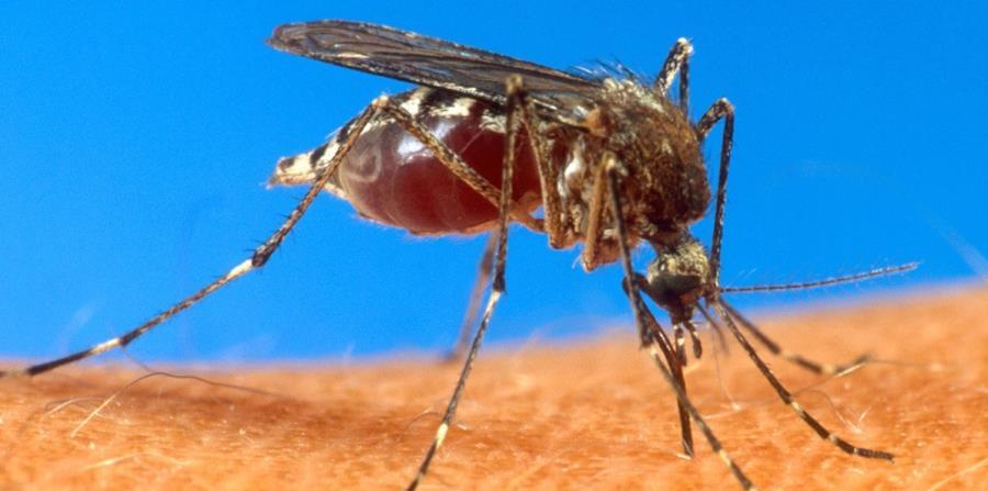 Aedes aegypti (horizontal-x3)