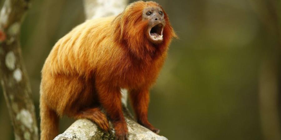 Se calcula que actualmente hay unos 3,200 ejemplares del mono en algunos municipios del interior del estado de Río de Janeiro, en Brasil. (horizontal-x3)