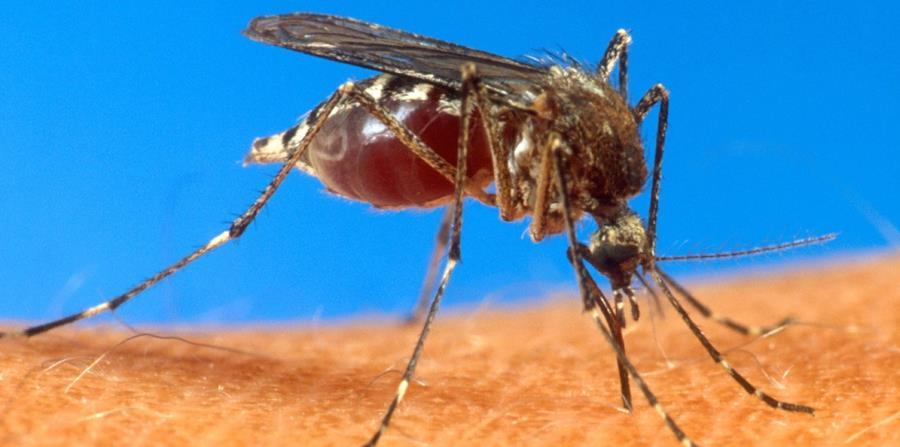 El vector de los virus mayaro, oropuche, encefalitis equina del Nilo occidental, encefalitis equina venezolana, dengue, zika, chikungunya y fiebre amarilla  es el mosquito Aedes aegypti. (horizontal-x3)
