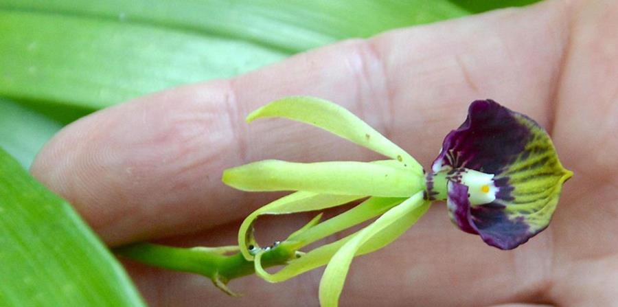 Una persona sostiene en sus manos una pequeña orquídea. (Agencia Cubana de Noticias) (horizontal-x3)