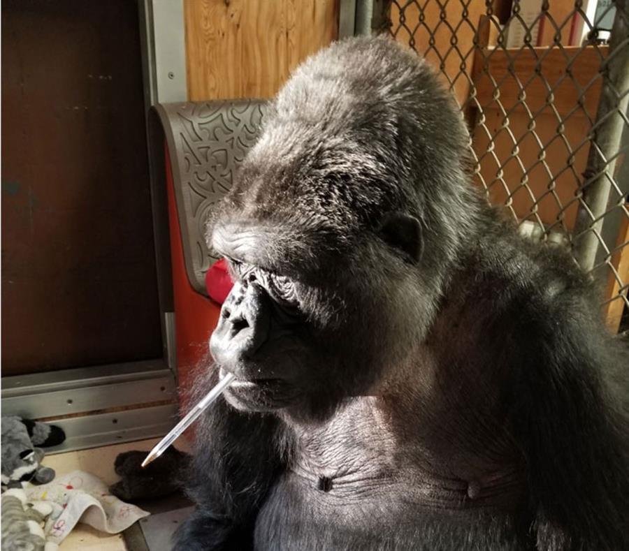 La fundación dijo que honrará el legado de la gorila con un app de lenguaje de señales que mostrará a Koko, para beneficio de gorilas y niños, así como otros proyectos. (semisquare-x3)