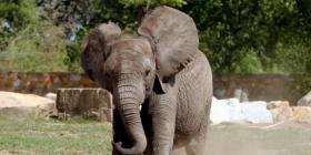 Una elefanta mata a un hombre que le tomaba fotos a su cría muerta
