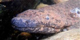 Identifican una nueva salamandra gigante como el anfibio más grande del mundo