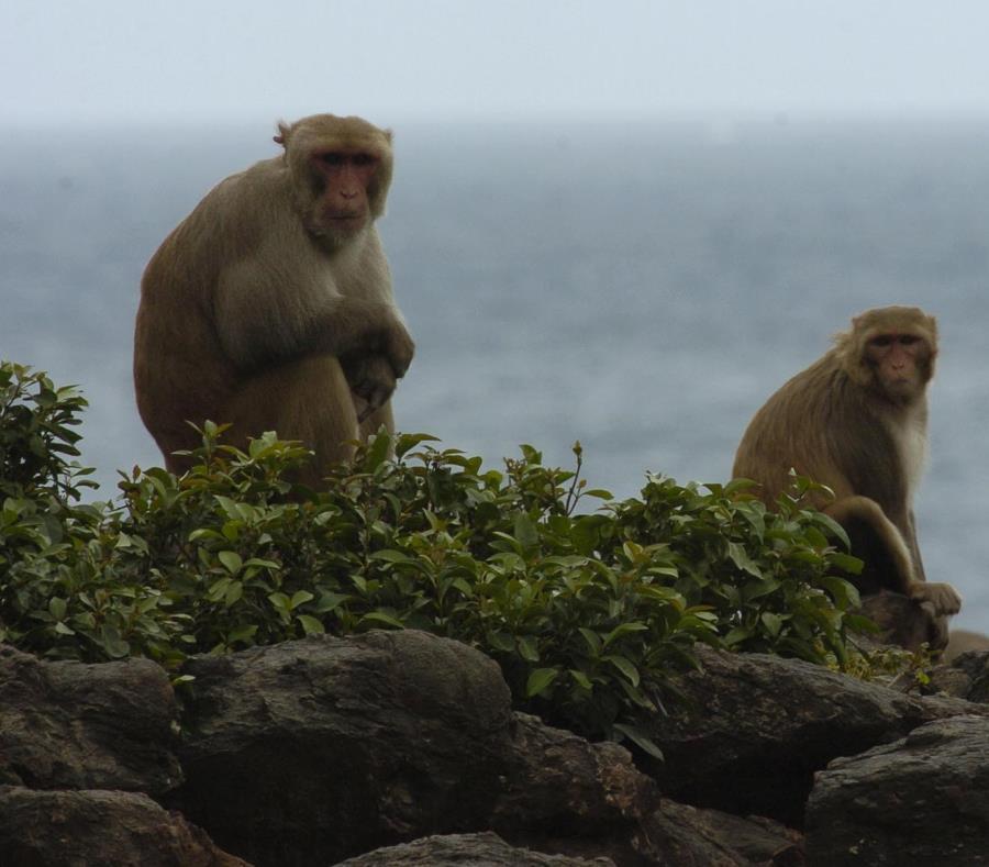 En cayo Santiago se estudian a los primates. (GFR Media) (semisquare-x3)