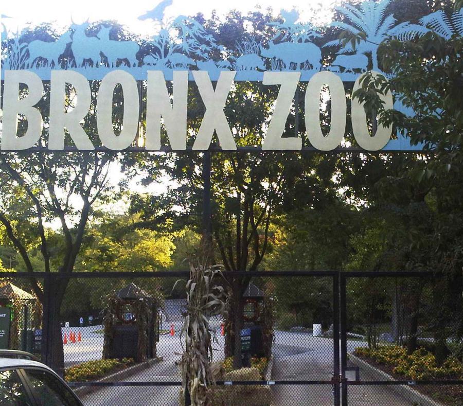 Tigre en el Zoológico del Bronx da positivo por coronavirus