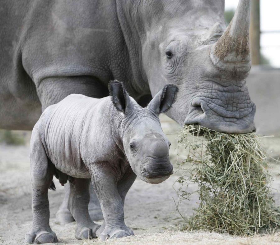 Una campaña busca recaudar nueve millones de dólares para proteger su especie. (semisquare-x3)