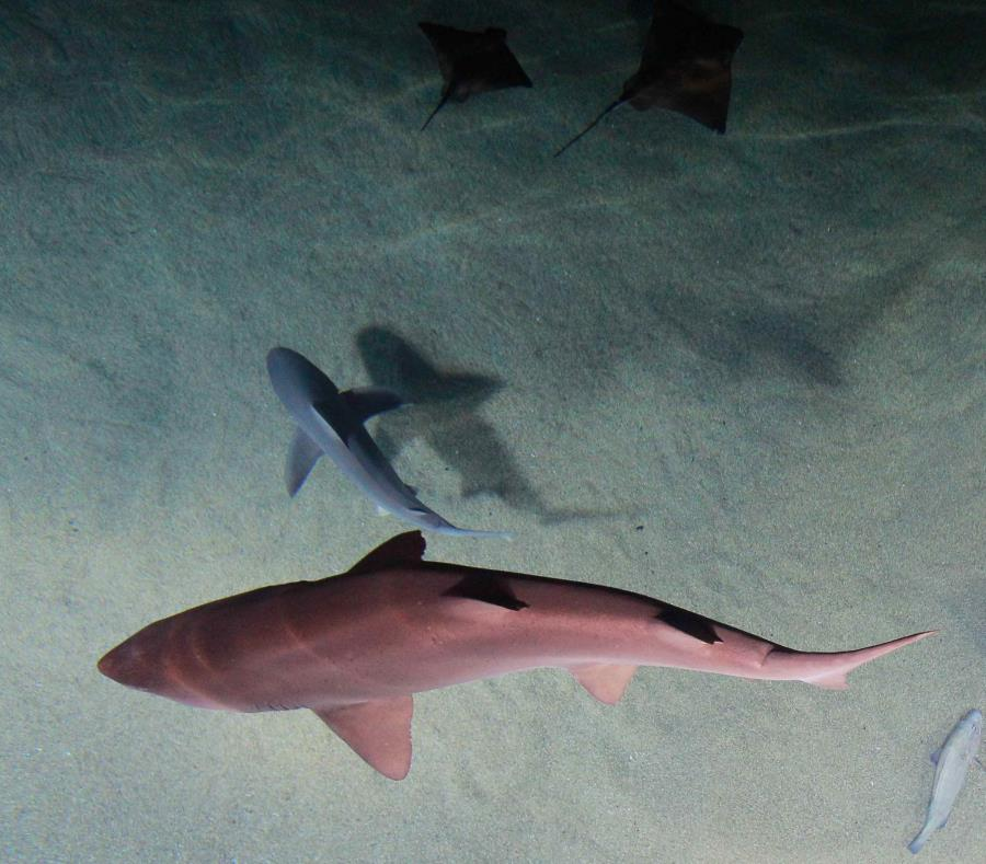 El Departamento de Agricultura y Pesca de Queensland informó que seis tiburones fueron cazados. (EFE) (semisquare-x3)
