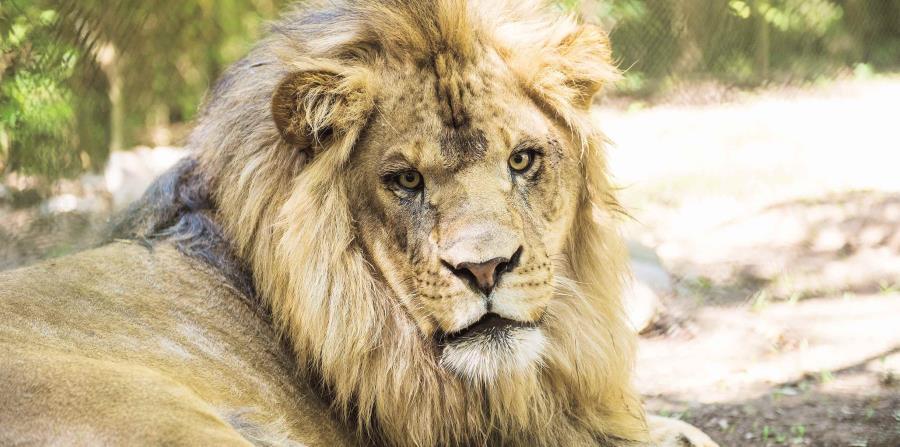 En la actualidad, alrededor de 113 leones viven en Antelope Park, un parque situado a unos 300 kilómetros al sur de Harare, capital de Zimbabue (horizontal-x3)