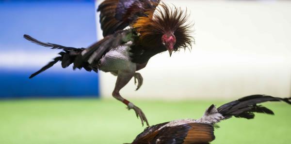 """""""Un reto mayor"""" detener la prohibición a las peleas de gallos"""