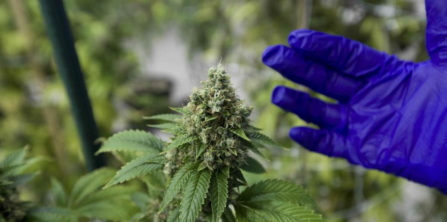 Una siembra de cannabis en Puerto Rico (horizontal-x3)