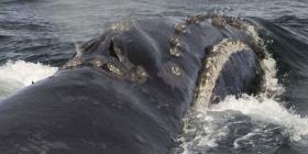 Graban por primera vez el canto de una rara ballena franca
