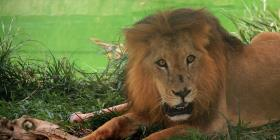 Un cazador genera indignación al matar a un león mientras dormía