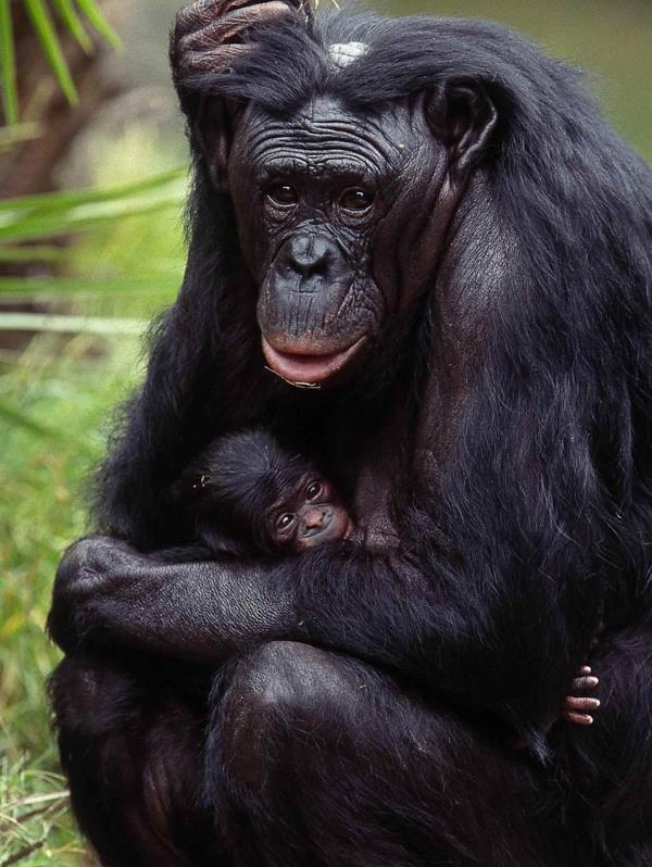 Una hembra bonobo sostiene a su hijo recién nacido. (Archivo / GFR Media)