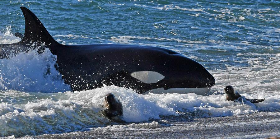 La principal fuente de alimento para las orcas es el salmón chinook, que ya no es tan numeroso como alguna vez lo fue. (horizontal-x3)