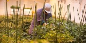 Inician en junio las siembras experimentales de cáñamo