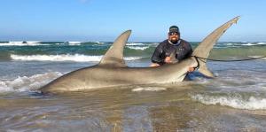 Capturan un tiburón martillo de más de 14 pies en Texas