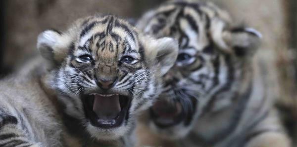 Nacen cachorros de tigres en peligro de extinción en Praga