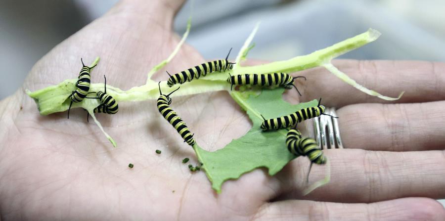 La gente a menudo piensa que los vertebrados son los predadores más importantes en los trópicos, pero son los pequeños artrópodos, como las hormigas. (horizontal-x3)
