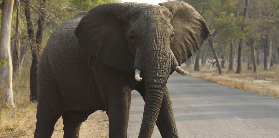 Un elefante en un parque nacional en Hwange, Zimbabue el 1 de octubre del 2015. (horizontal-x3)