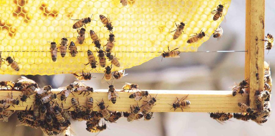 Roban un millón de abejas en Austria (horizontal-x3)