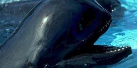 Descubren una subespecie de delfín