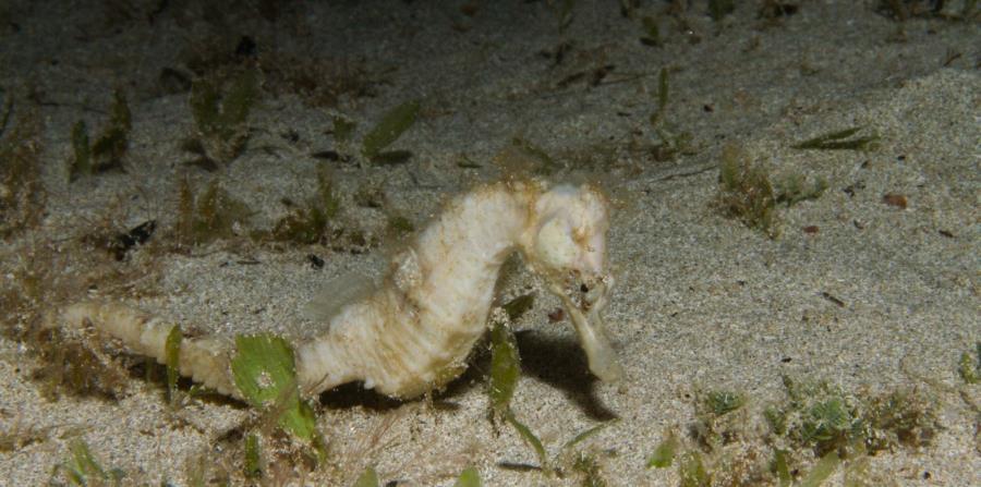 El caballito de mar tiene la capacidad de camuflarse para protegerse, como se aprecia en esta imagen, tomada en Puerto Rico por el doctor Héctor Ruiz. (Suministrada Dr. Héctor Ruiz)