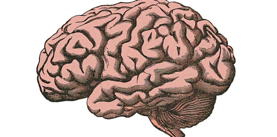 Cerebro Adapta Sus Funciones Ante Situaciones De