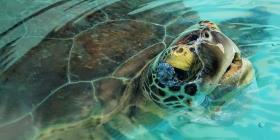 Muestra mejoría la tortuga en peligro de extinción que fue rescatada en Toa Baja