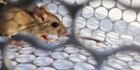 El hantavirus no es una nueva epidemia que viene de China, según expertos