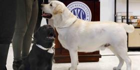 El labrador es el can preferido por 28 años consecutivos