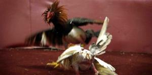 La Cámara baja federal adelantó para hoy la votación sobre las peleas de gallos