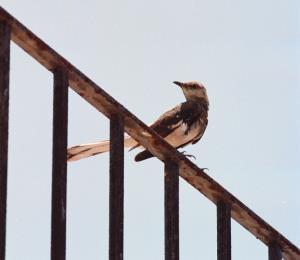 Aves adaptadas al urbanismo boricua
