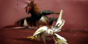 Fiscalía federal advierte que procesará a quienes violen la prohibición de las peleas de gallos