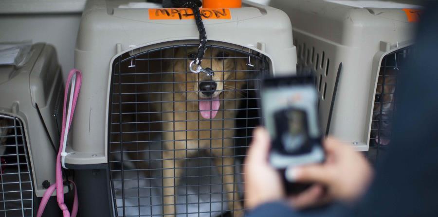 El Faro y el albergue de mascotas St. Hubert trasladan fuera de Puerto Rico decenas de mascotas para llevarlas a sus dueños que se han mudado a Estados Unidos luego del huracán María. (horizontal-x3)