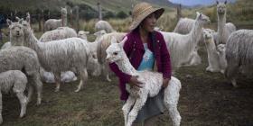 Comienza a probarse en alpacas una vacuna para el COVID-19