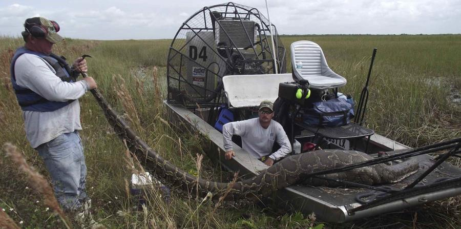 Pitones birmanas amenazan la supervivencia de mamíferos en parque Everglades (horizontal-x3)