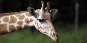 Un turista resulta gravemente herido al ser aplastado por una jirafa