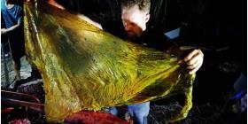 Hallan una ballena muerta con más de 88 libras de desechos en el estómago