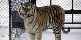 Cuidadora de zoólgico de Suiza fallece tras ser atacada por tigre siberiano