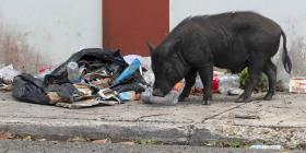 Sin consenso para controlar sobrepoblación de cerdos vietnamitas