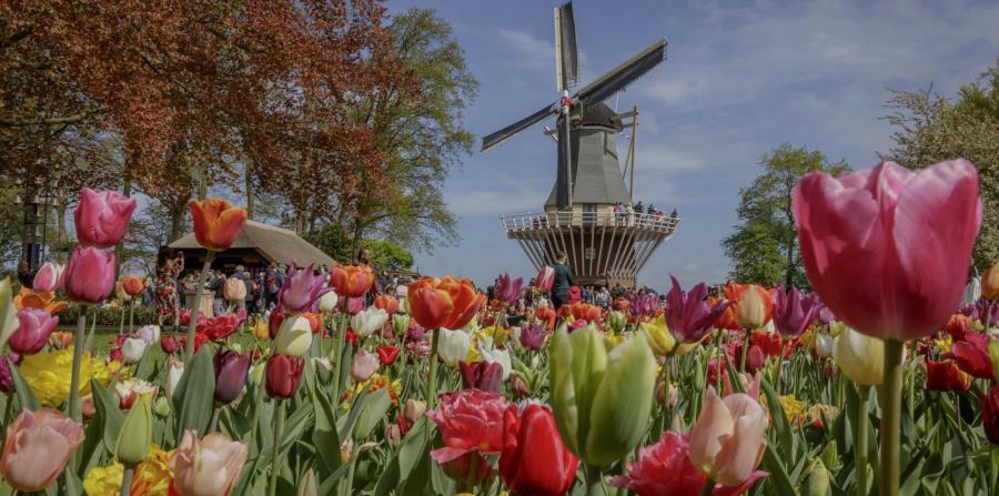 Ensoñador paisaje con tulipanes en los jardines Keukenhof, en los Países Bajos, adonde se puede llegar desde una travesía desde el puerto de Amsterdam.