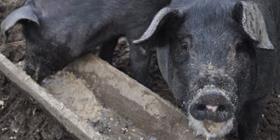 Darán restos de comida a los criadores de cerdos en Maine
