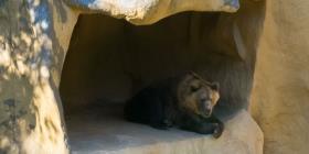 Lo que ayudó a osos de cavernas a hibernar pudo causar su extinción