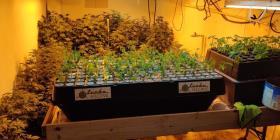 Arrestan a un padre y a su hijo por mantener un invernadero de marihuana en Utuado