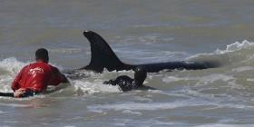 Siete orcas quedan varadas en la costa argentina
