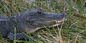 Atrapan a un caimán de tres metros en un barrio de Miami