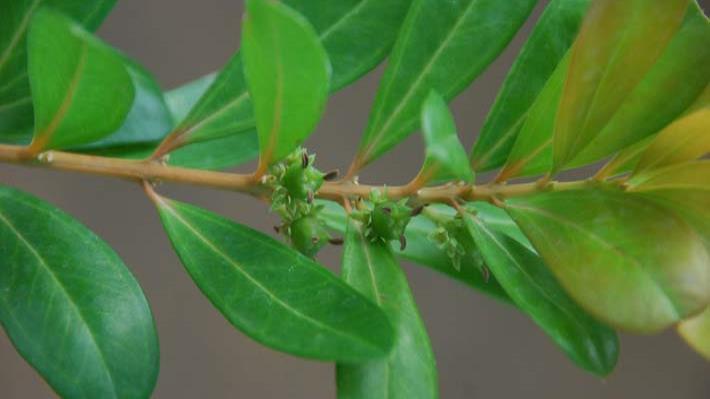 Plantas en peligro de extinci n en puerto rico el nuevo d a - Especies de arbustos ...