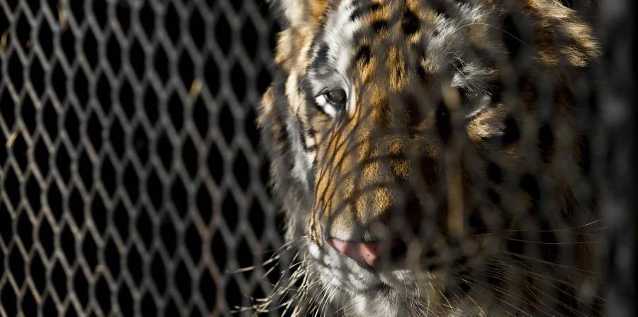 Fotografía de archivo del 12 de febrero del tigre encontrado en una residencia en el sureste de Houston mientras espera ser transportado al albergue animal BARC en Houston. (Godofredo A. Vasquez/Houston Chronicle vía AP, Archivo) (horizontal-x3)